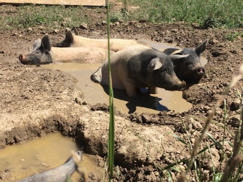 Die Weideschweine graben sich ihre Suhle selbst.