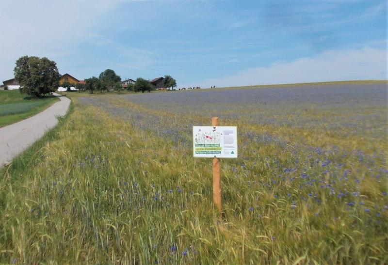 Biobraugerste mit vielen blauen Kornblumen dazwischen.