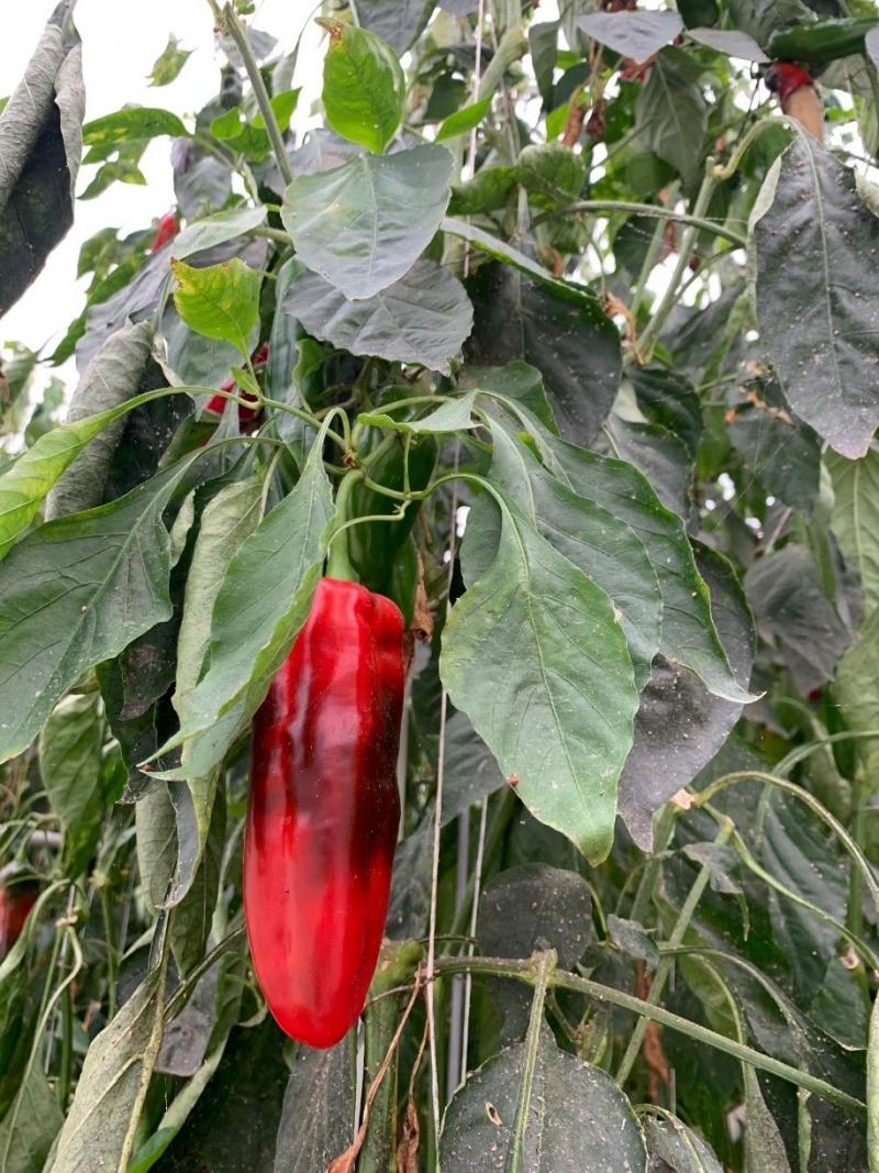 Tomaten und Paprika sind die  Hauptfrüchte im Biogewächshaus  Kirchweidach.  Der Biohof von Florian Steiner wird unabhängig vom  konventionellen Gemüsehof der Familie Steiner betrieben.