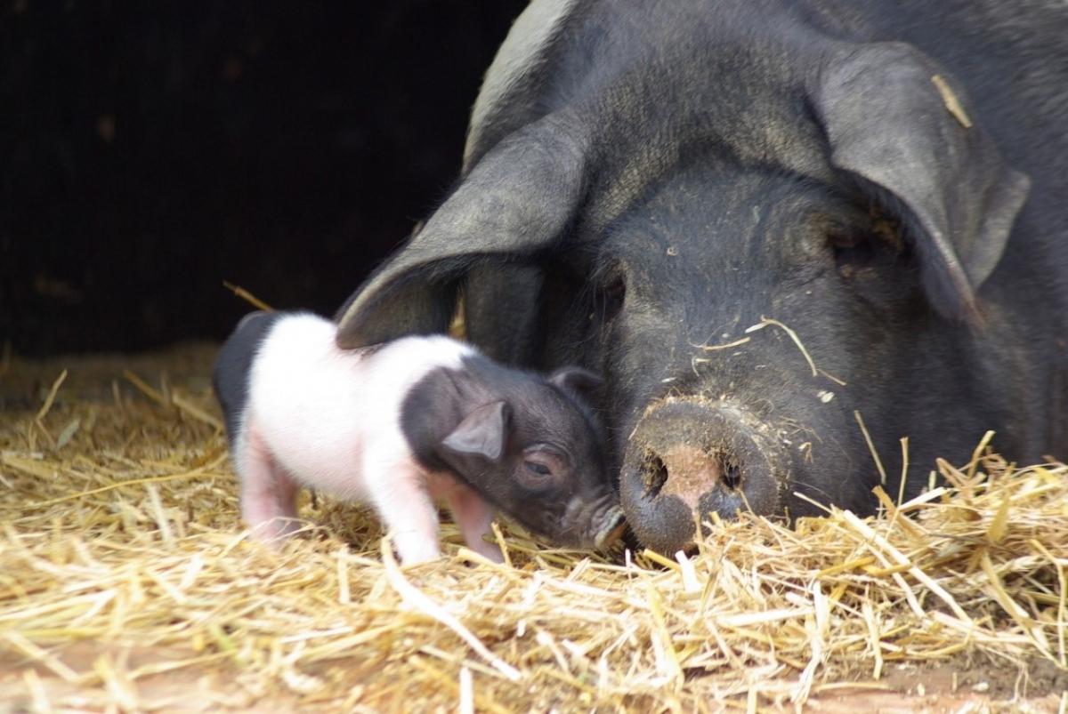 Freilandschweine vom Huberhof