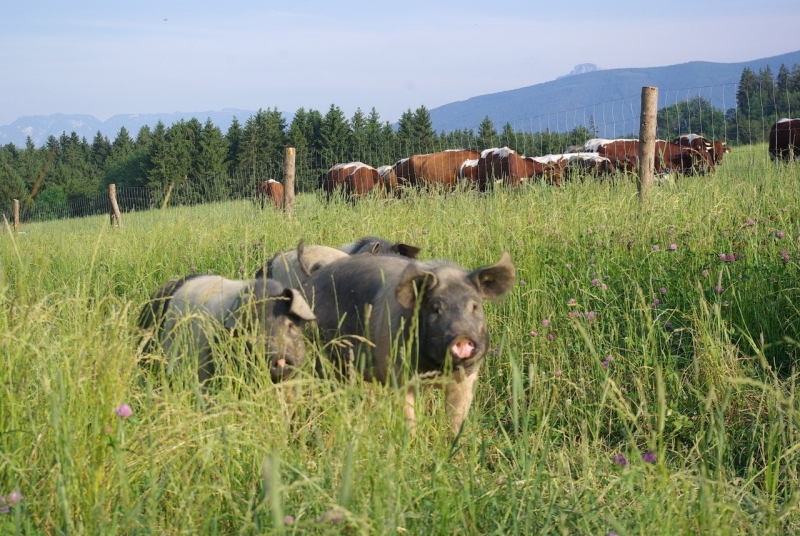 Schwäbisch-hällische Landschweine und Pinzgauer Herde